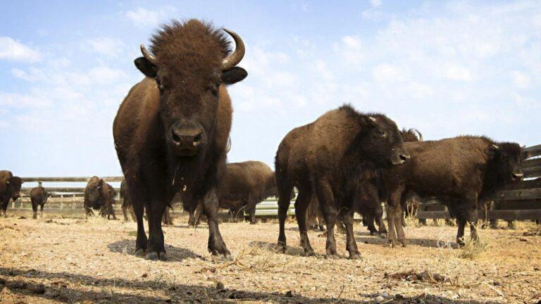 North Dakota author details comeback of American buffalo